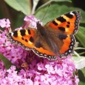 De (gekleurde) vlinder